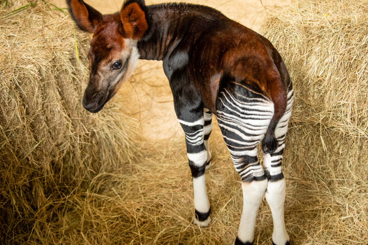 an okapi at Disney's Animal Kingdom Lodge; Courtesy of Walt Disney World