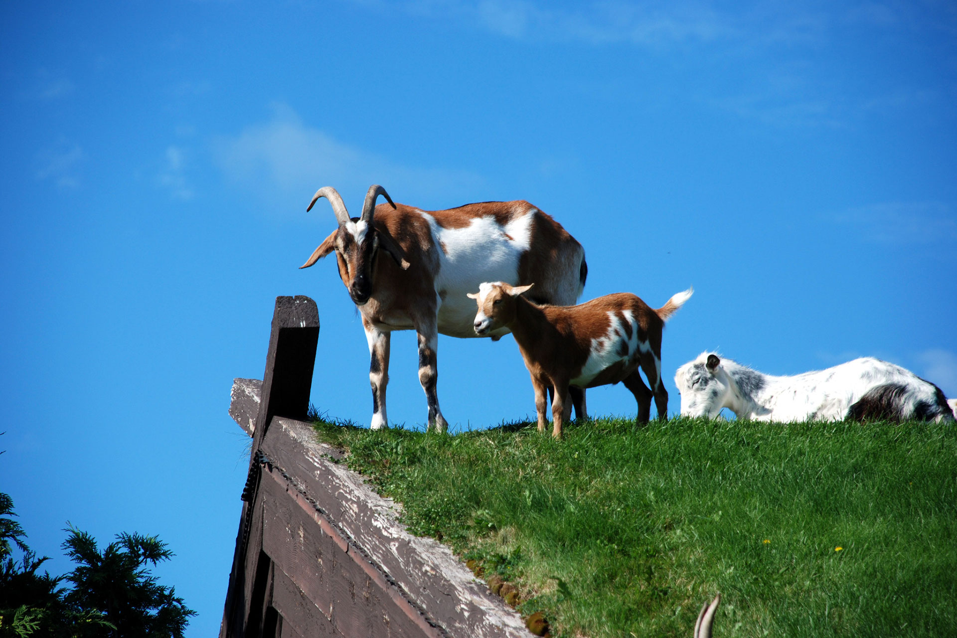 Goats on the Roof at Al Johnson's Swedish Restaurant; Courtesy of Door County Visitor Bureau