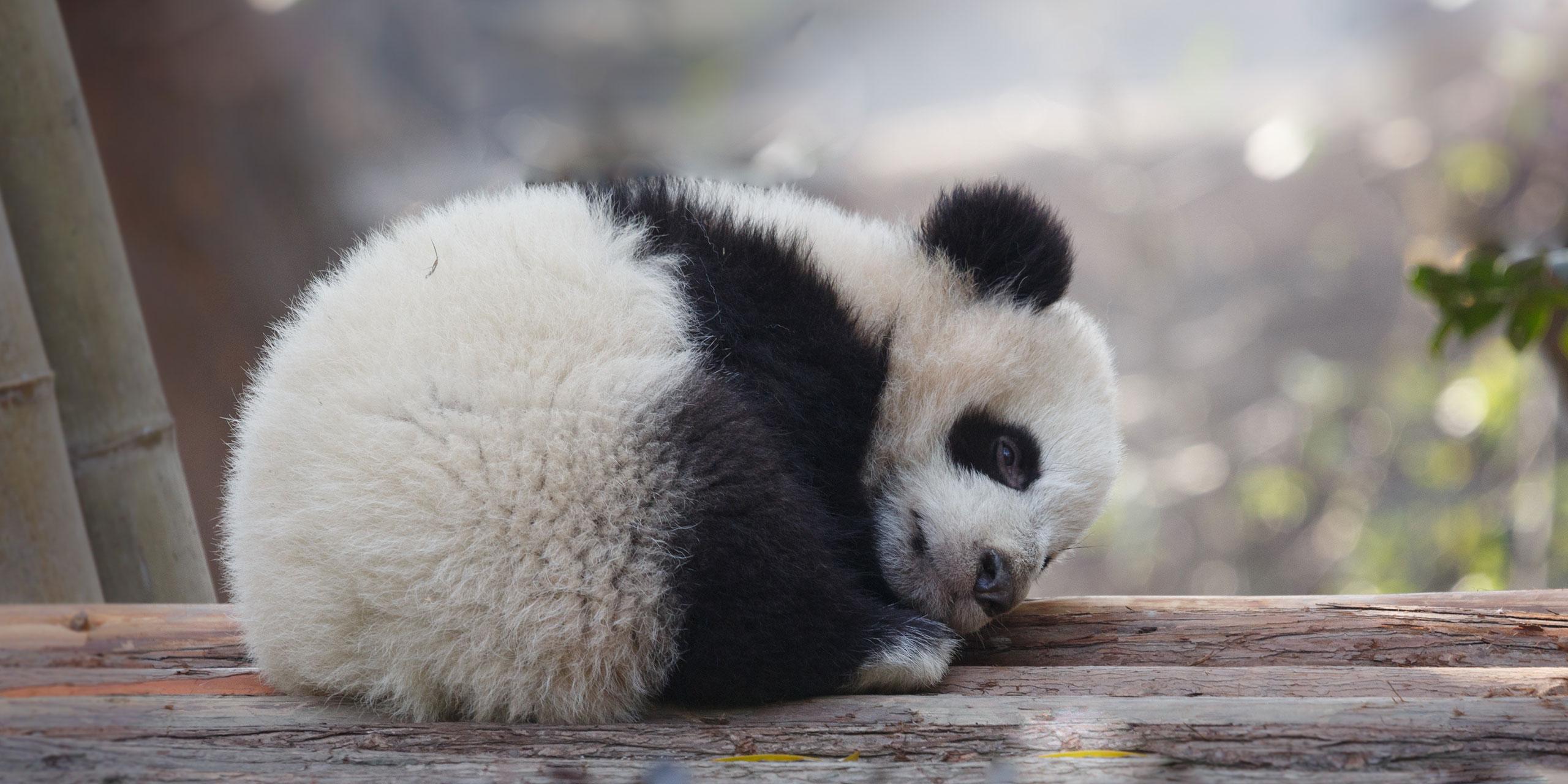 Sleeping Panda; Courtesy of enmyo Shutterstock.com