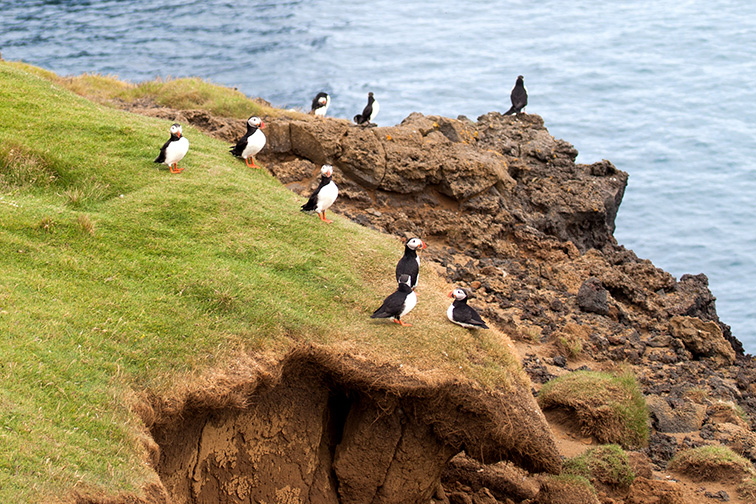 Many puffin birds on the Westman Islands near Iceland; Courtesy of CharlotteRaboff/Shutterstock