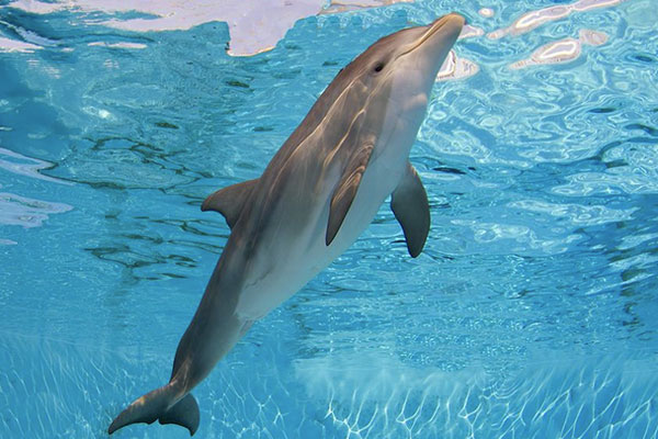 A dolphin at the Clearwater Marine Aquarium.
