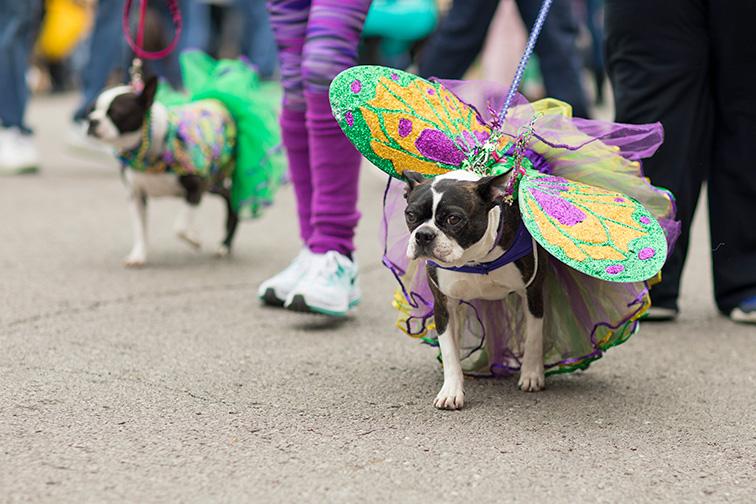The Begging Pet Parade is part the Soulard neighborhood Mardi gras celebrations in St. Louis; Courtesy Roberto Galan/Shutterstock