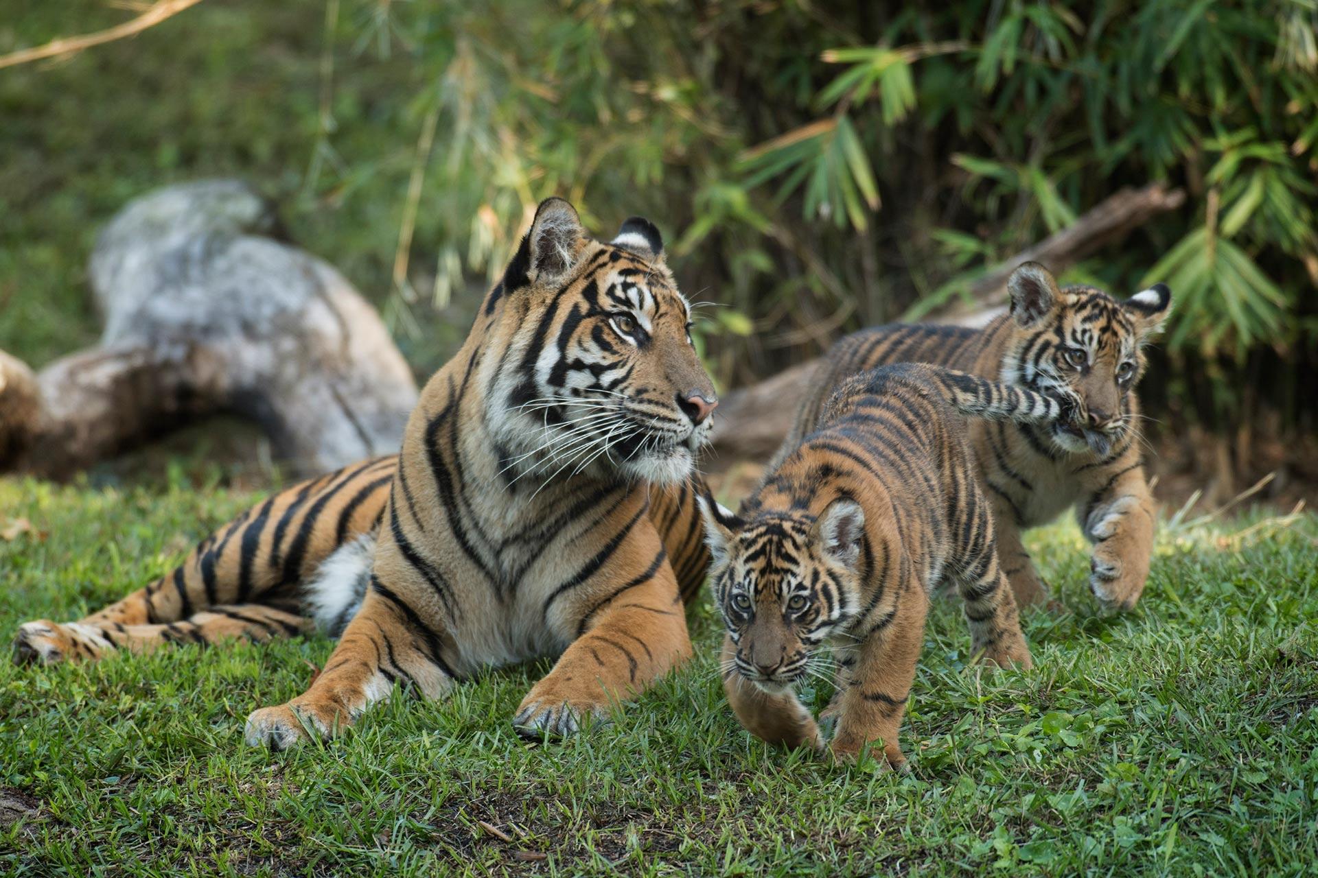 Maharajah Jungle Trek at Disney's Animal Kingdom.