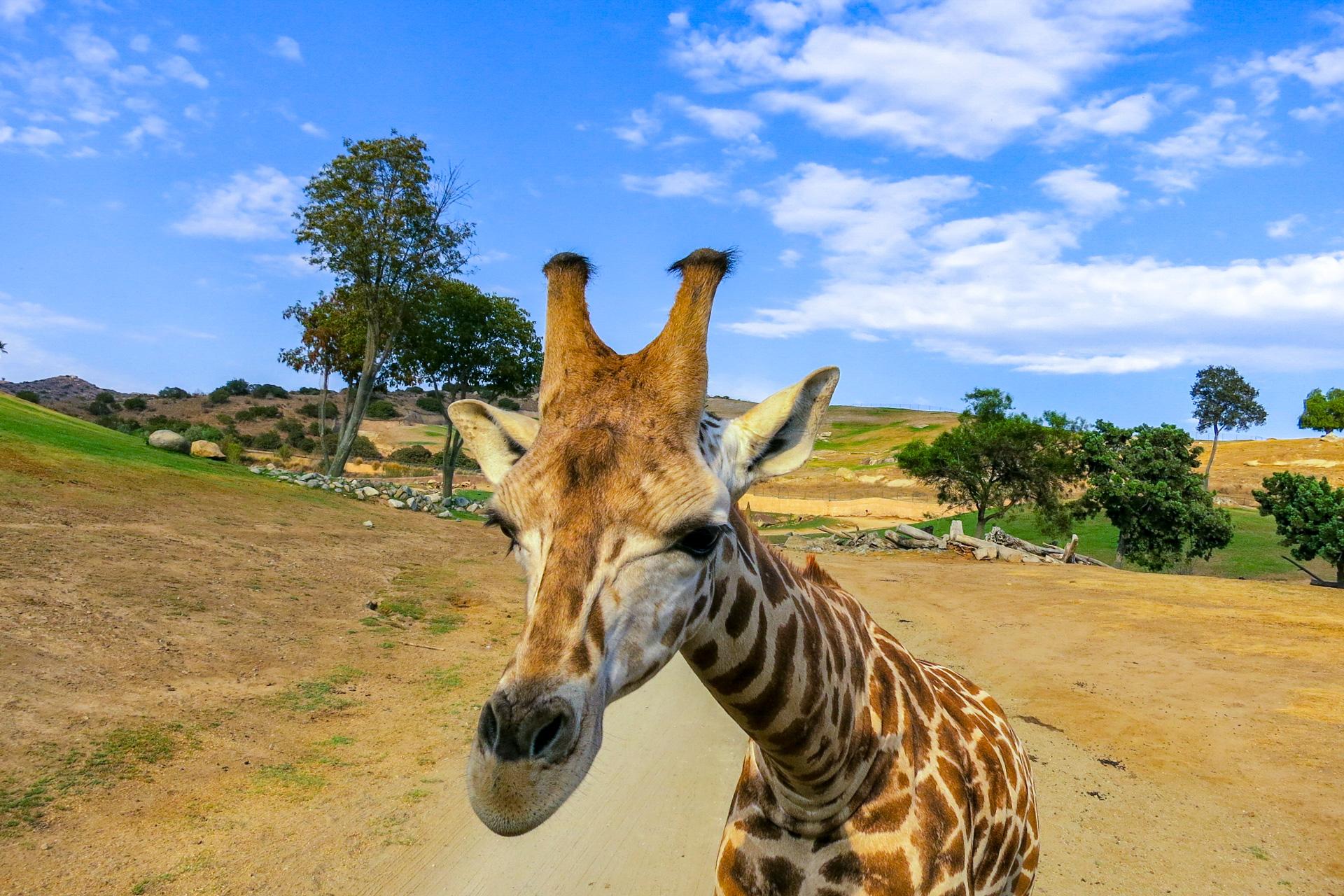 giraffe san diego zoo; Courtesy of Melanie Faulstick/Shutterstock.com