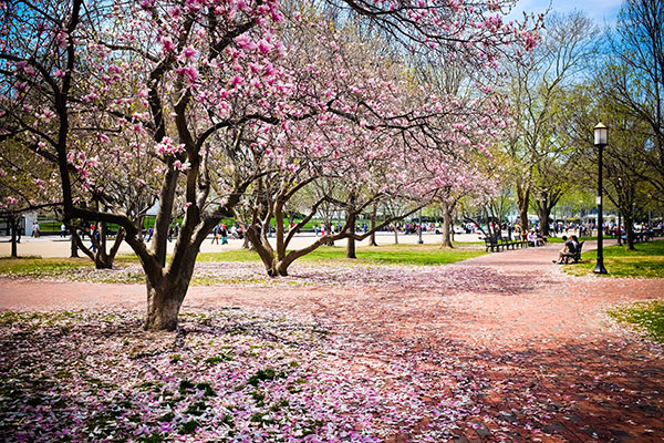 Cherry blossoms in full bloom in Washington, D.C.