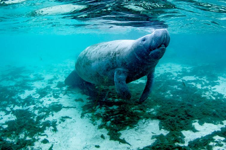 manitee in Crystal River, Florida; Courtesy of Eric Carlander/Shutterstock