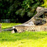 Cheetah; Liz Stepanoff/Shutterstock.com