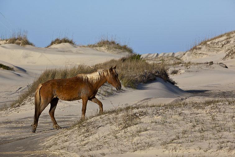 Wild Horses in Corolla, North Carolina