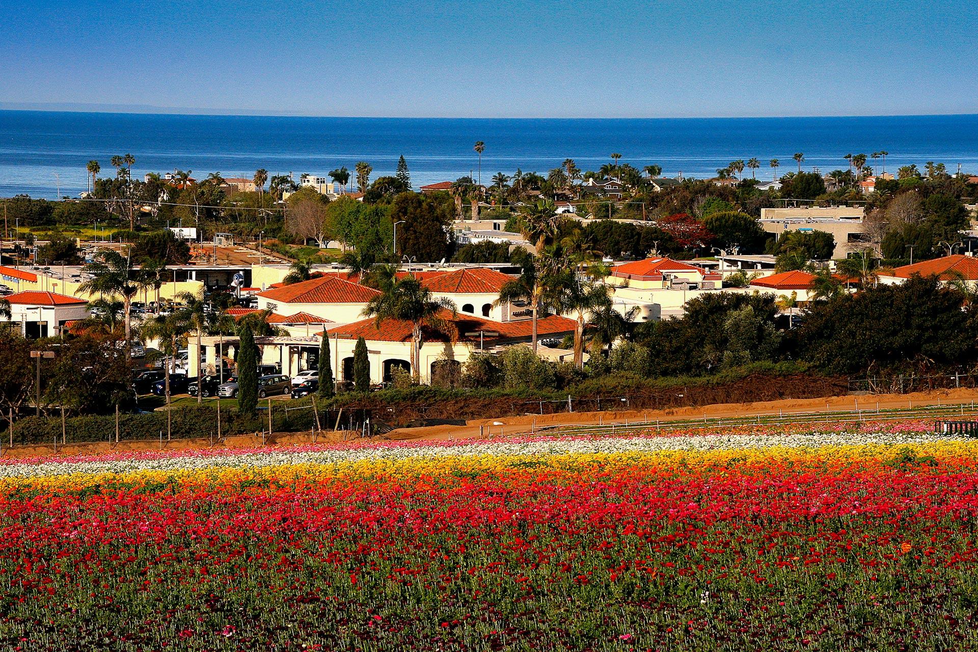 Flower fields in Carlsbad, California