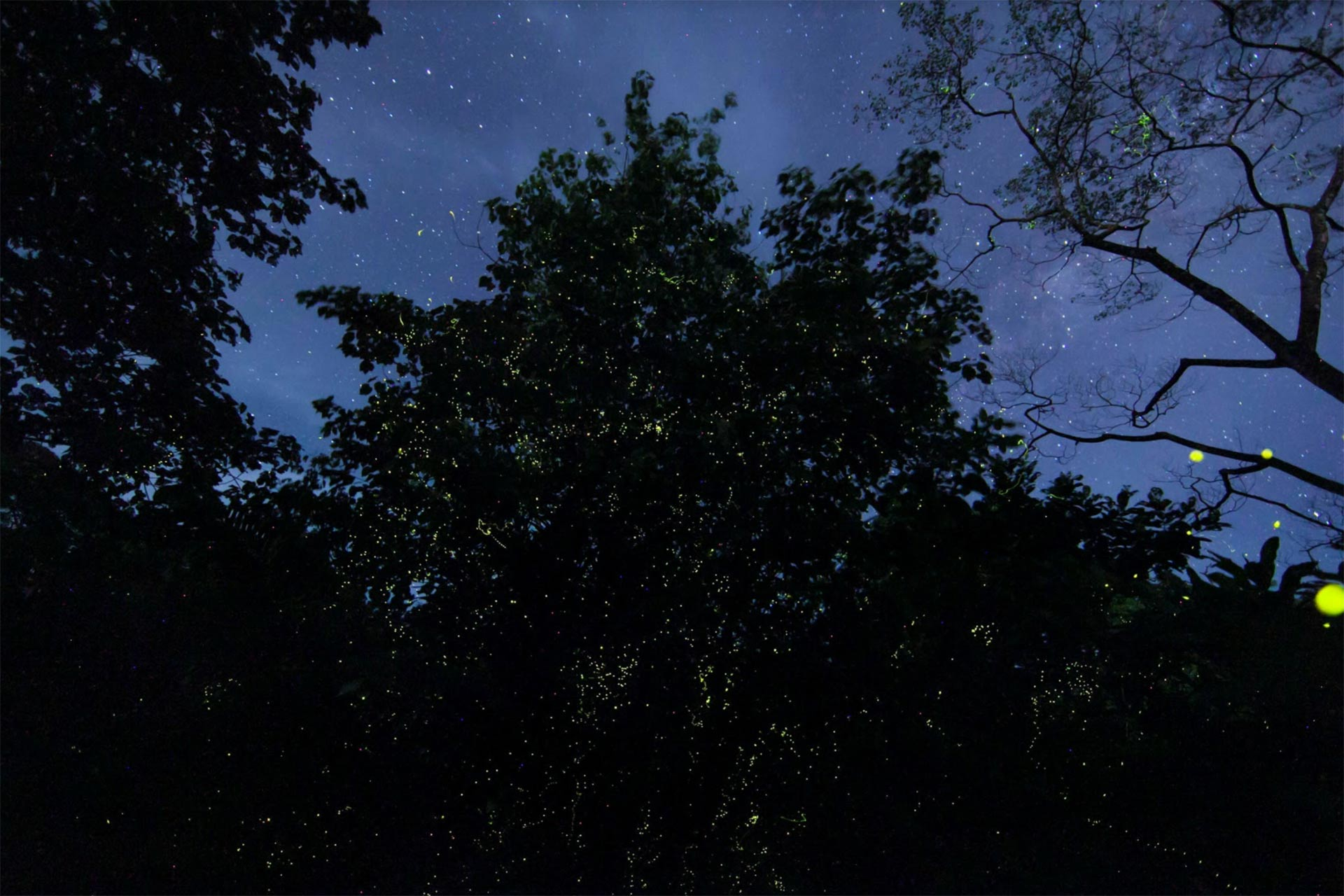 Firefly trees in Papua New Guinea