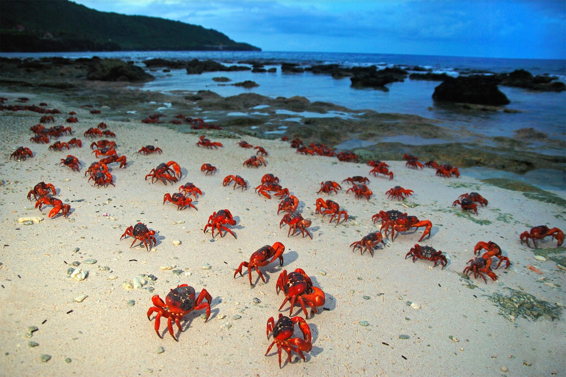Red Crab Migration on Christmas Island in Australia