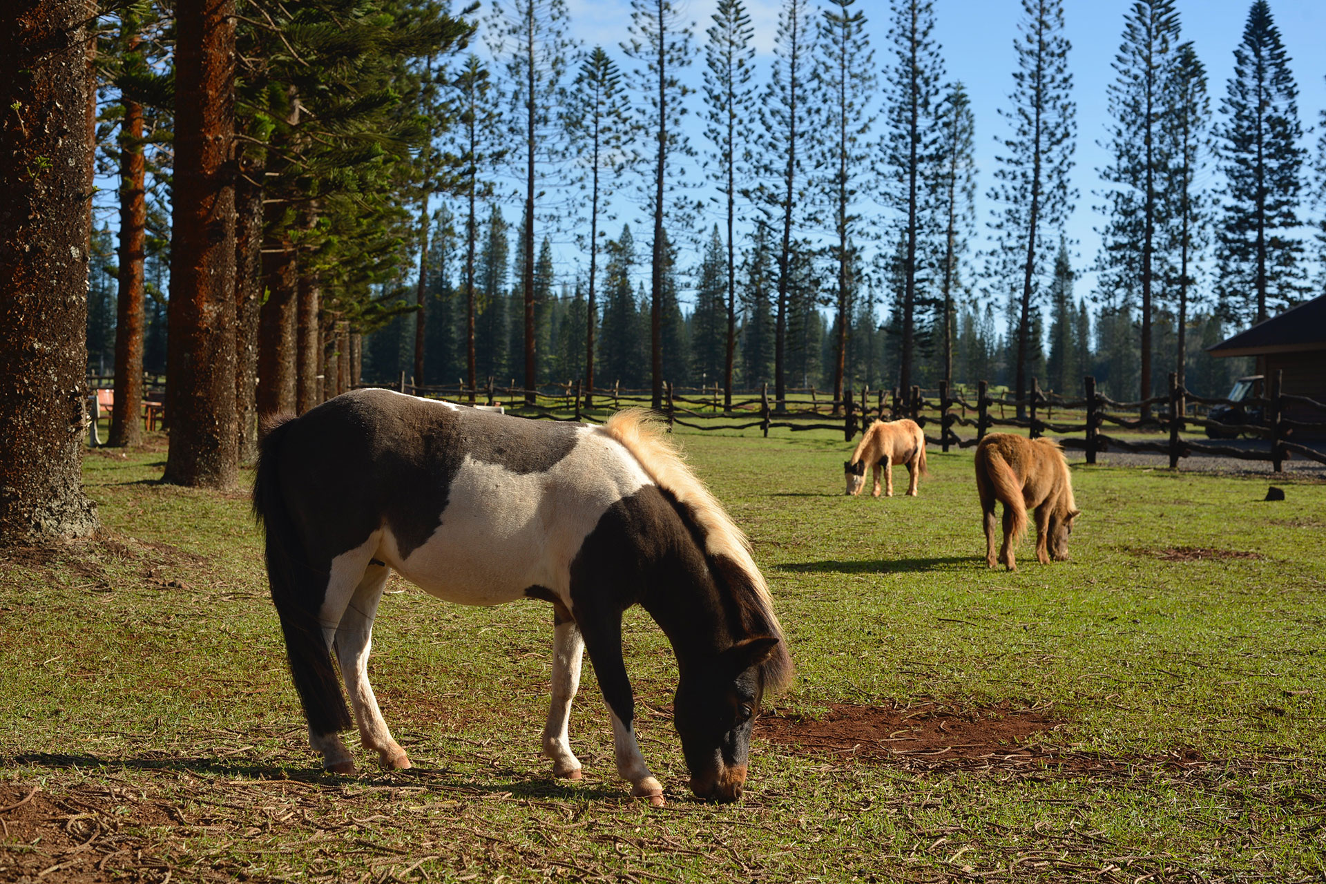 Mini Ponies at The Lanai Ranch at Koele in Hawaii