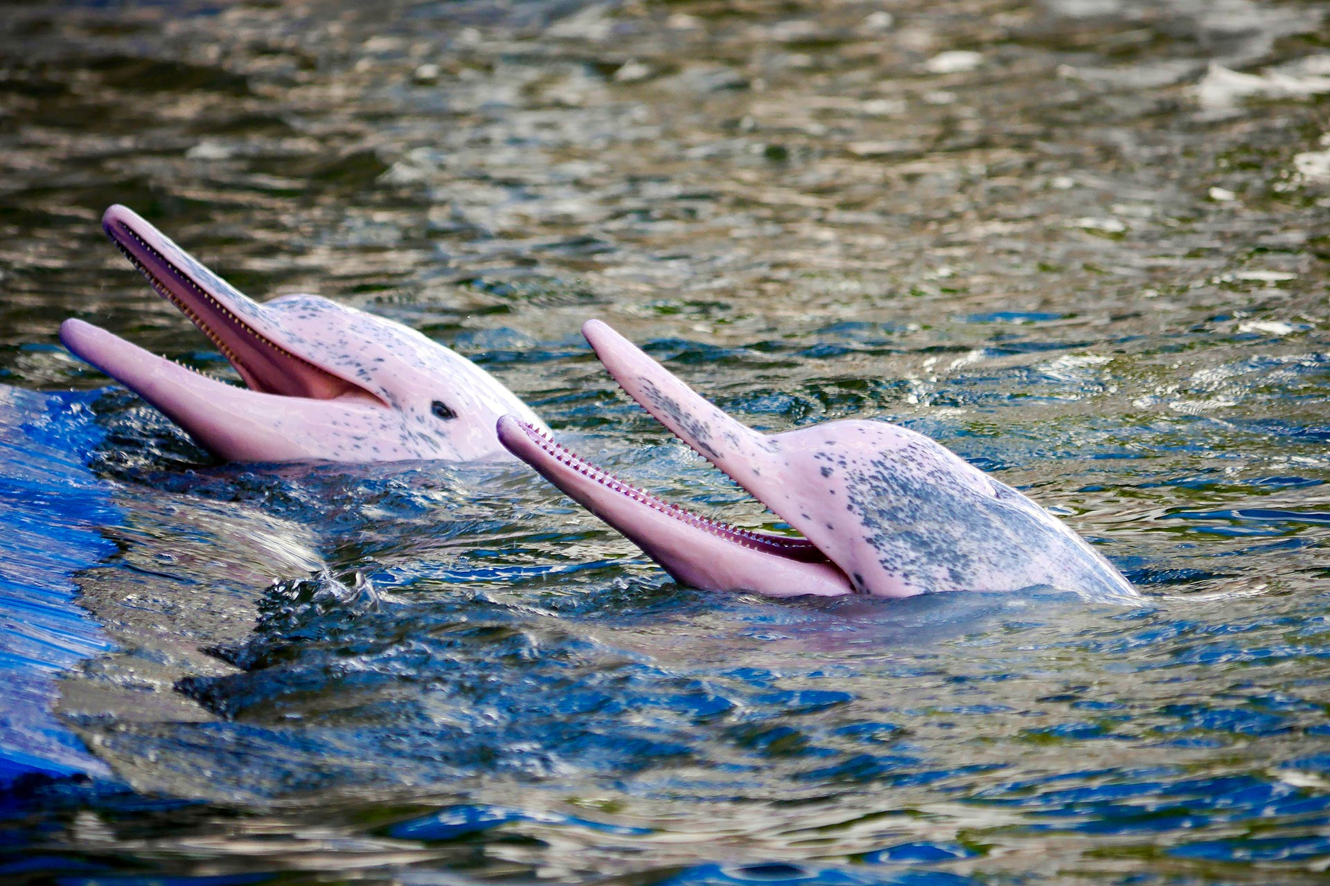 Pink River Dolphins in the Amazon