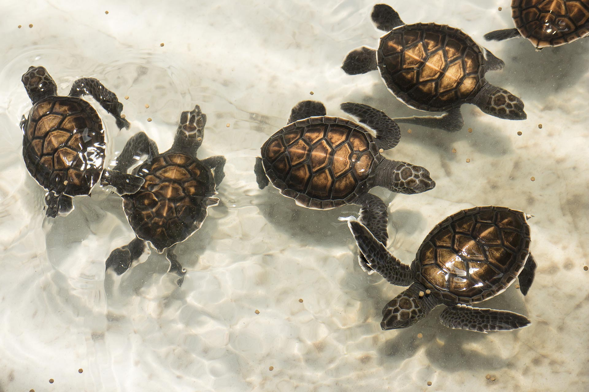 Sea Turtles in Nevis, Caribbean