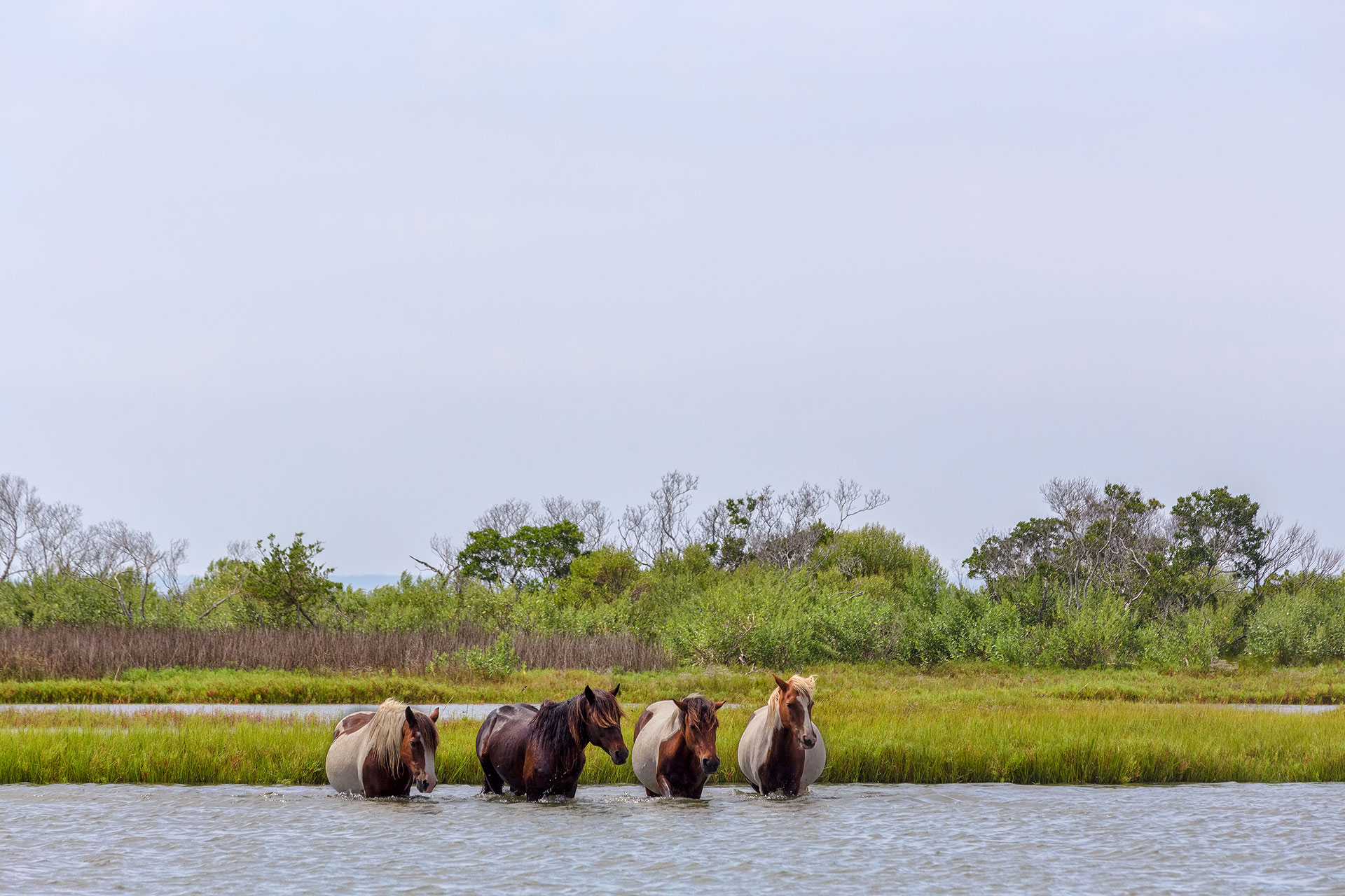Wild Ponies in Chincoteague Island; Courtesy of Stephen Bonk/Shutterstock.com