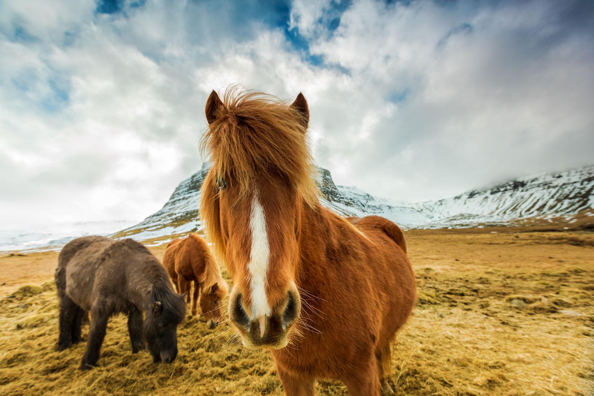 Icelandic Horses; Courtesy of Ververidis Vasilis/Shutterstock.com