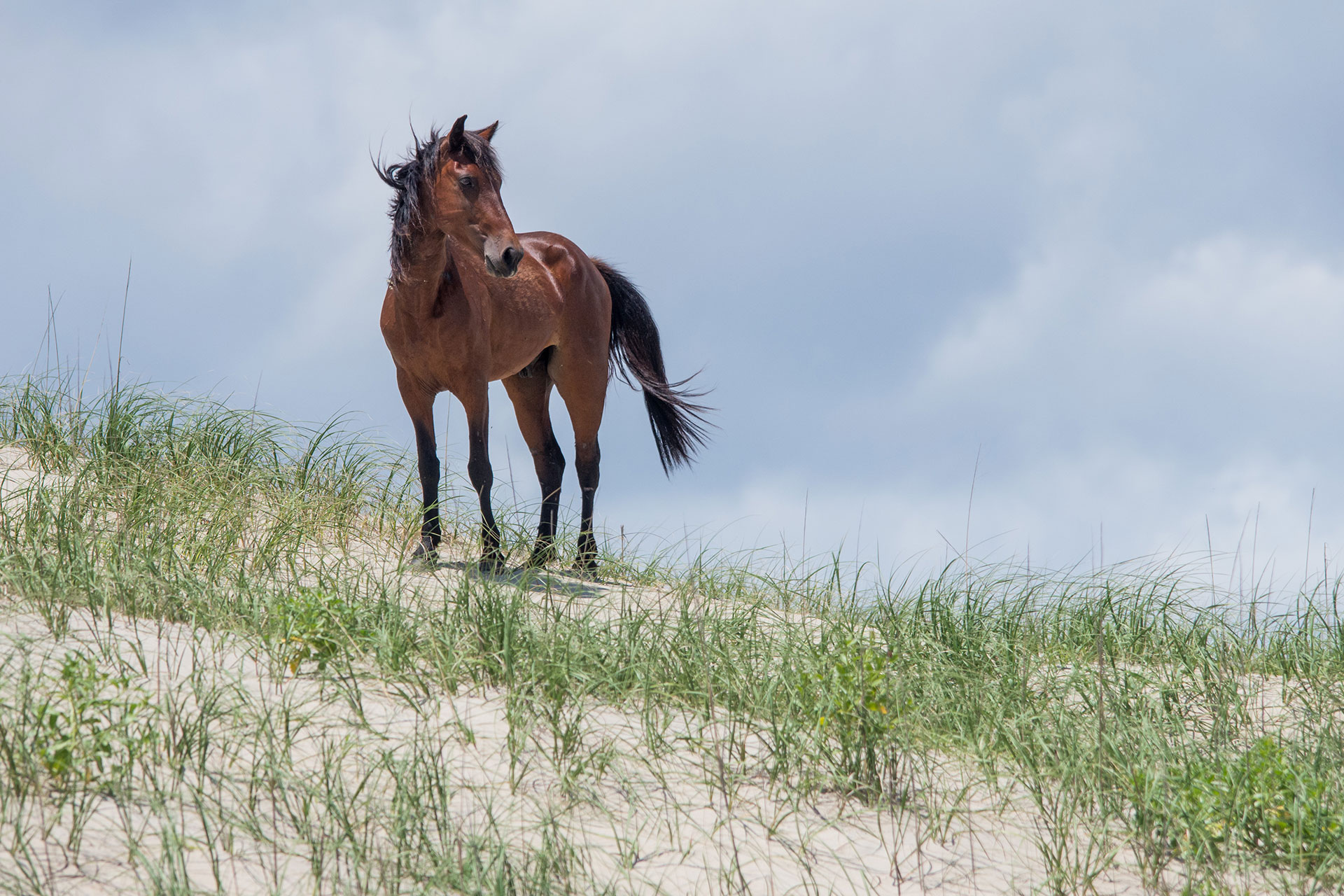Wild Horse in Outer Banks, North Carolina; Courtesy of BHamm/Shutterstock.com