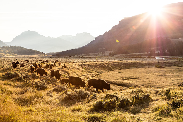Bison roam Lamar Valley Yellowstone National Park; Courtesy NPS