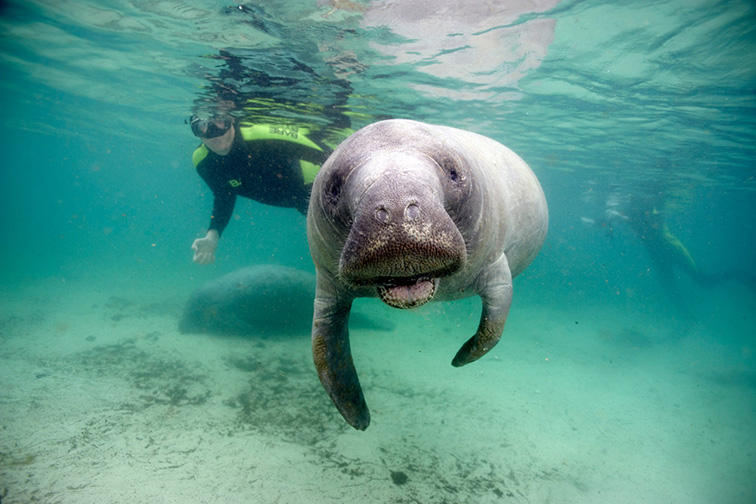 snorkeling in with seals; Courtesy of Plantation on Crystal River