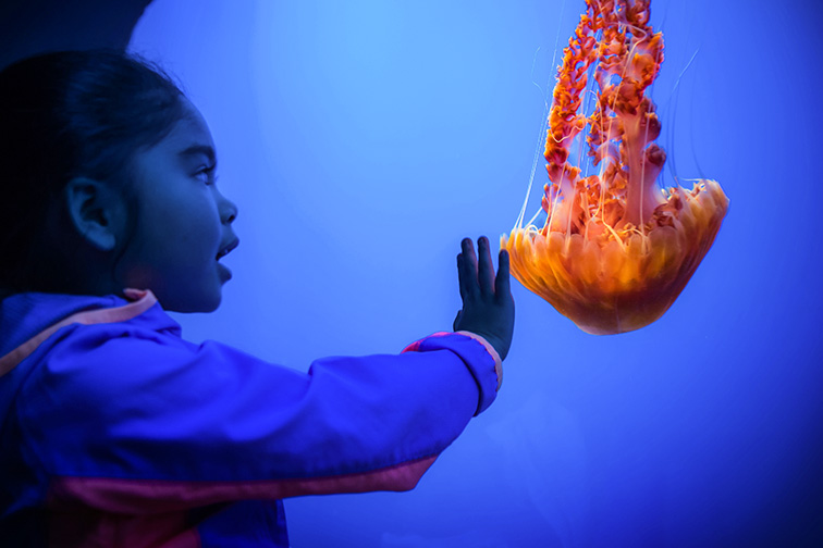 A young guest watching the black sea nettles in the Open Sea exhibit. ; Courtesy of Monterey Bay Aquarium