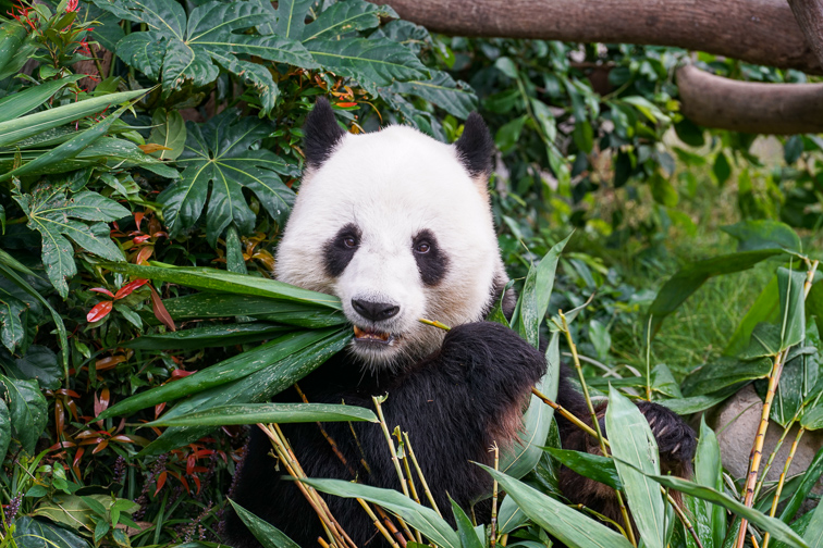 A panda eating its bamboo; Courtesy of Wang Sing/Shutterstock