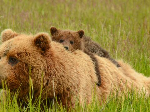 Bear and Her Cub in Alaska; Courtesy of David Rasmus/Shutterstock.com