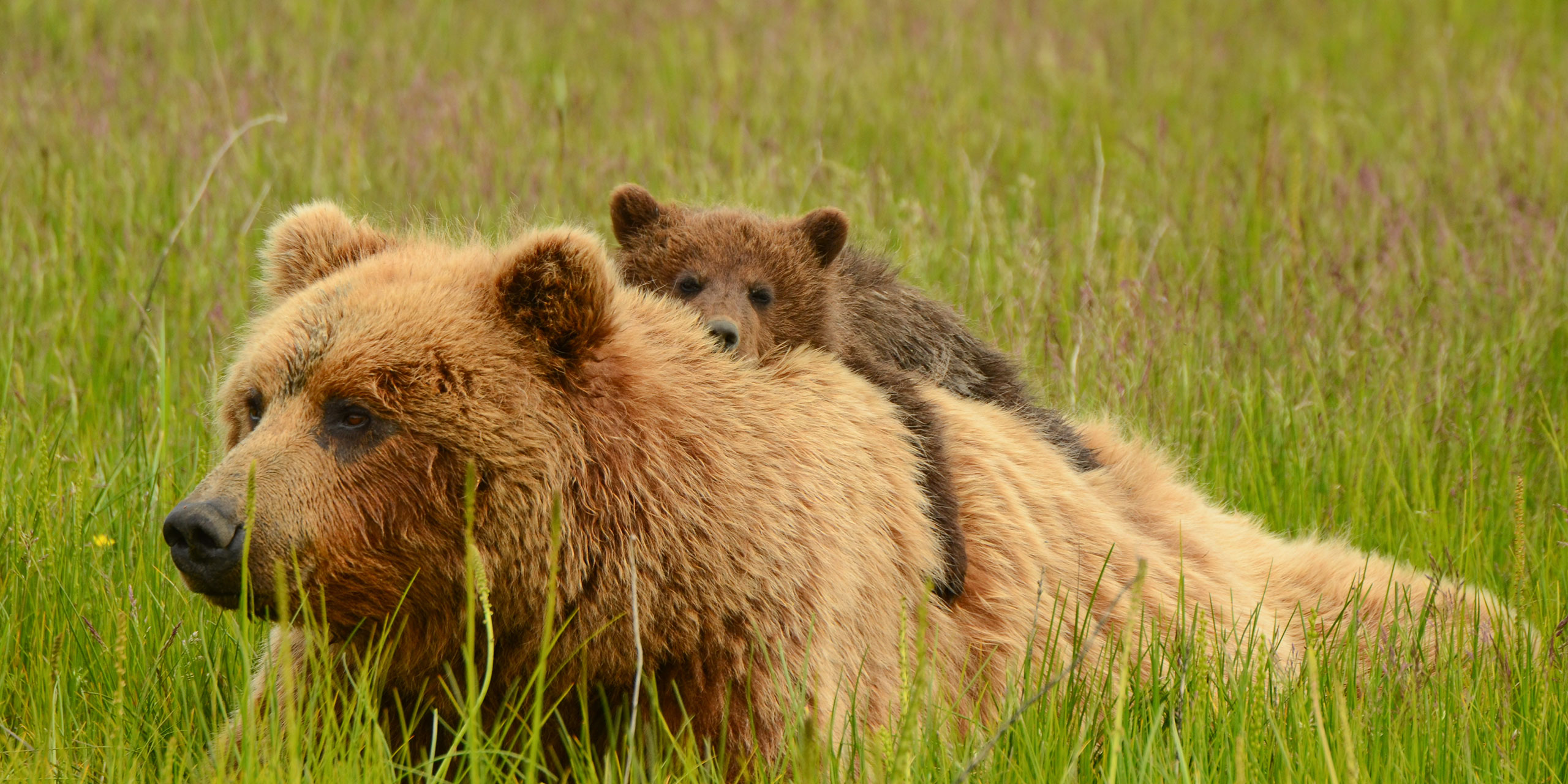 Bear and Her Cub in Alaska; Courtesy of David Rasmus/Shutterstock.com