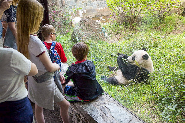 Panda at the National Zoo in Washington, D.C.; Courtesy Smithsonian National Zoo