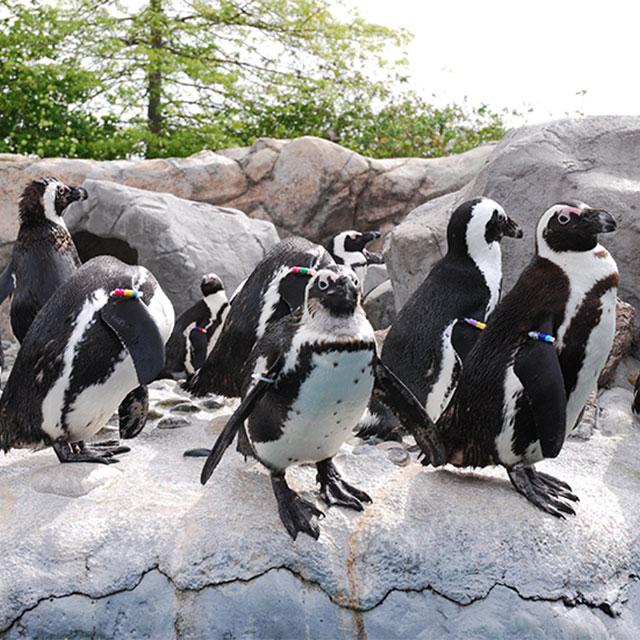 Penguins at Mystic Aquarium